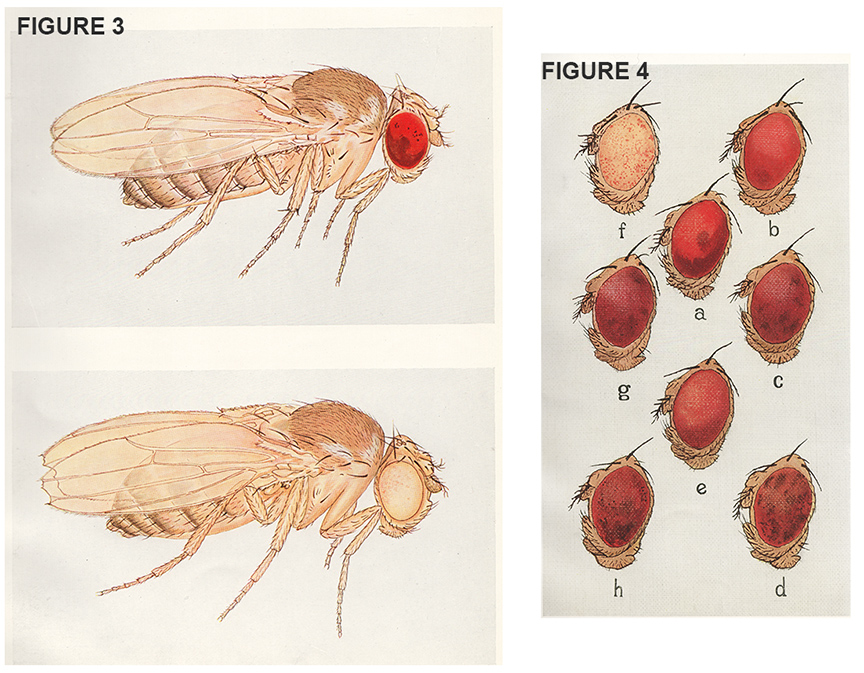 drosophila research papers Drosophila research papers - witness the benefits of qualified custom writing assistance available here expert scholars, quality services, instant delivery and other.