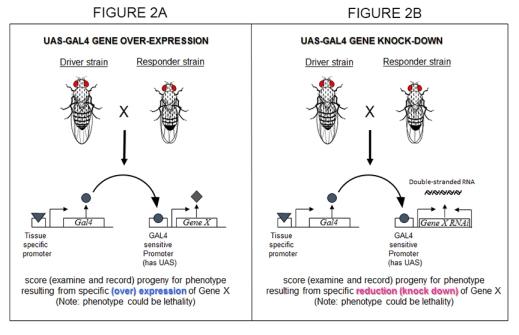 UAS GAL4 & RNAi