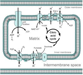 The mitochondrial electron transport chain